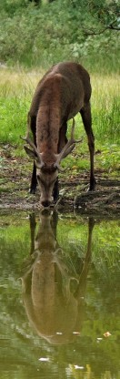 photo of deer drinking from stream